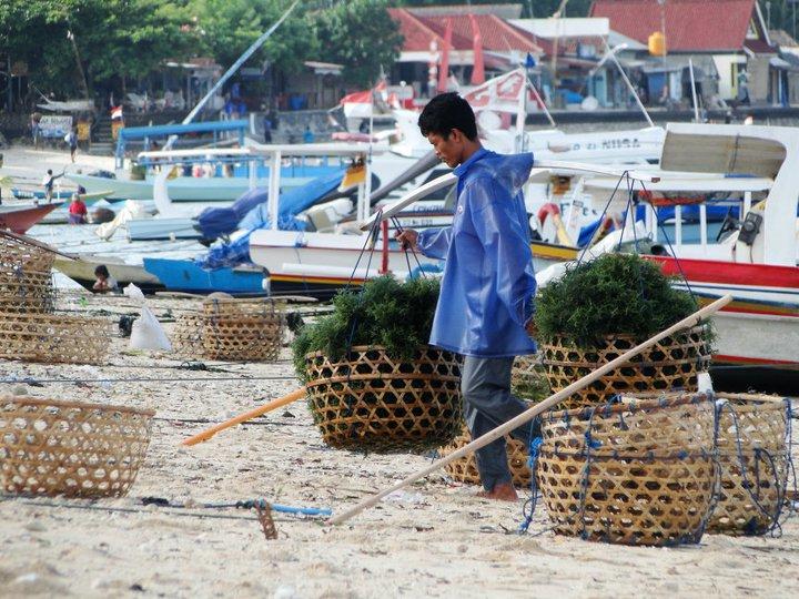 collecting seaweed Nusa Lembongan Bali