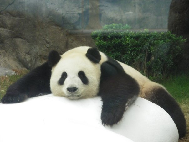 panda kong