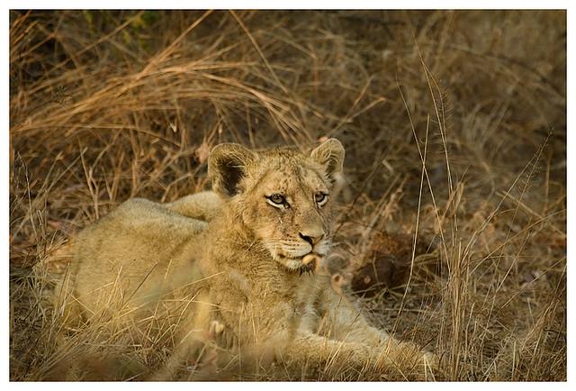 Female lions in kruger national park