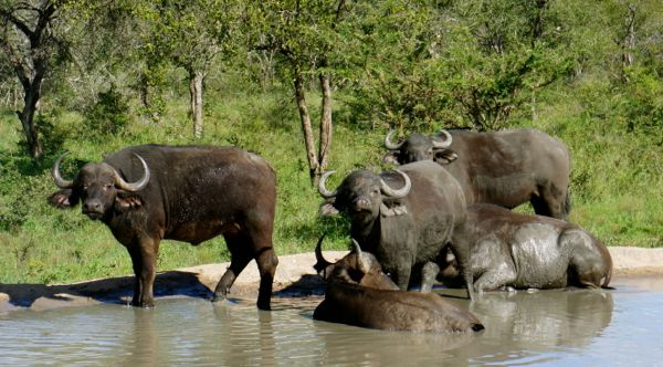 Buffalo in Kruger National Park, South Africa