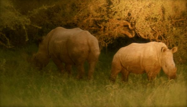 Rhinos in Kruger National Park, South Africa