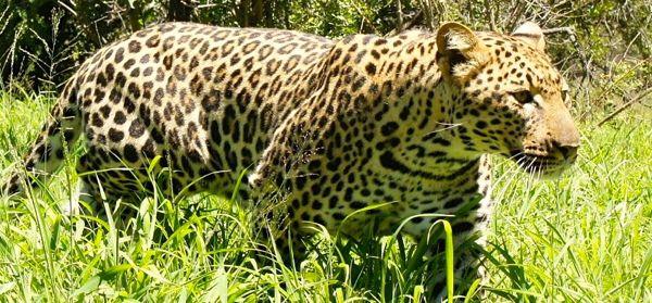 Leopard in Kruger National Park, South Africa