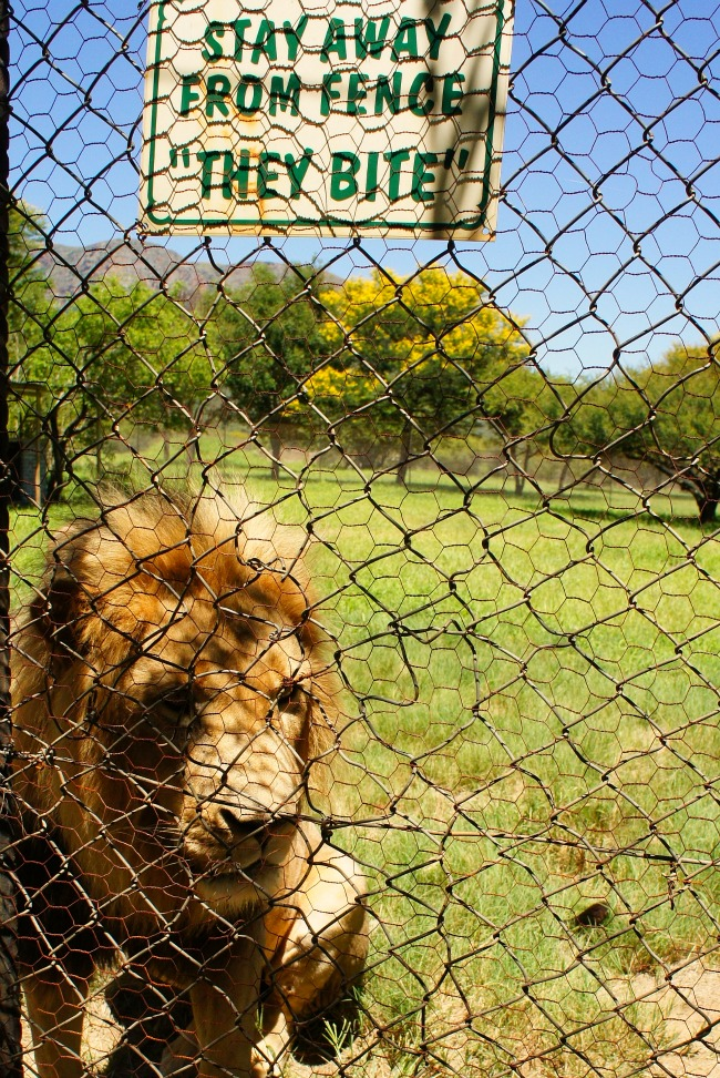 lion in conservation park