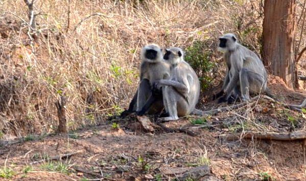 Monkeys in Bhandhavgarh National Park