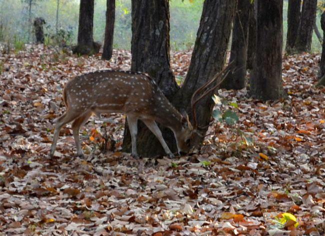 deer in Bhandhavgarh National Park