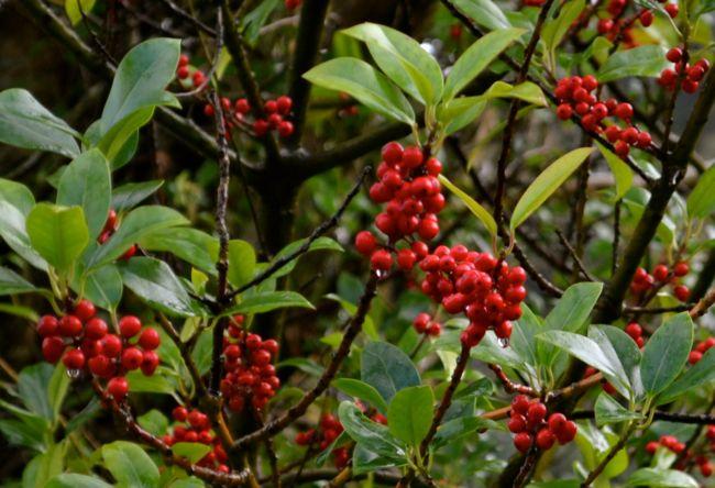 Bright berries in Ireland