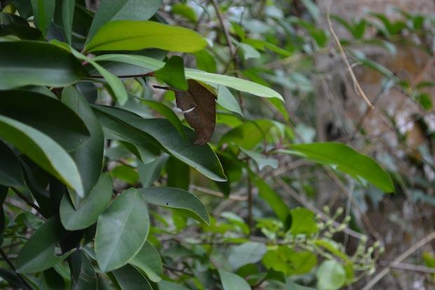 Butterfly dead leaf