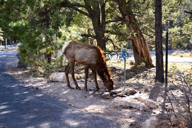 Elk at Grand Canyon camping ground