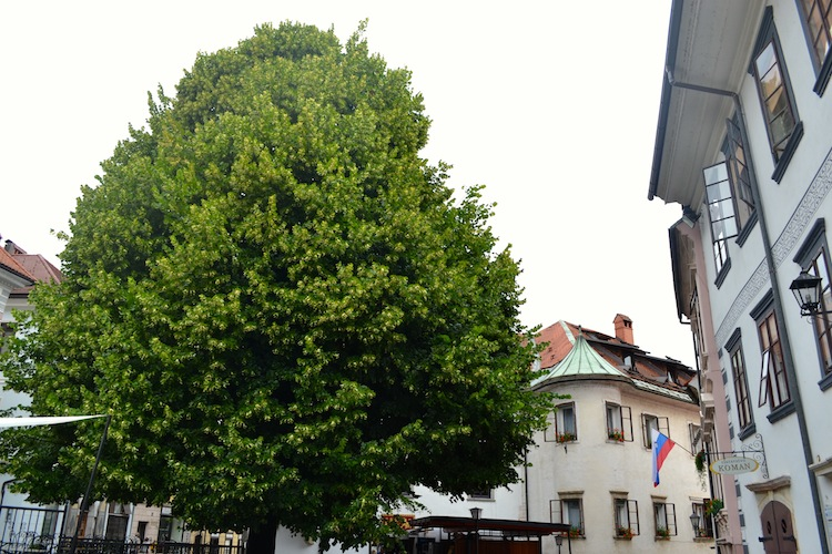 Slovenia national tree
