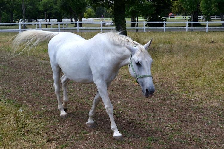white Lipizzaner famous white horse