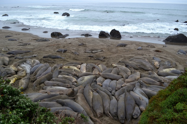Big Sur Elephant seals