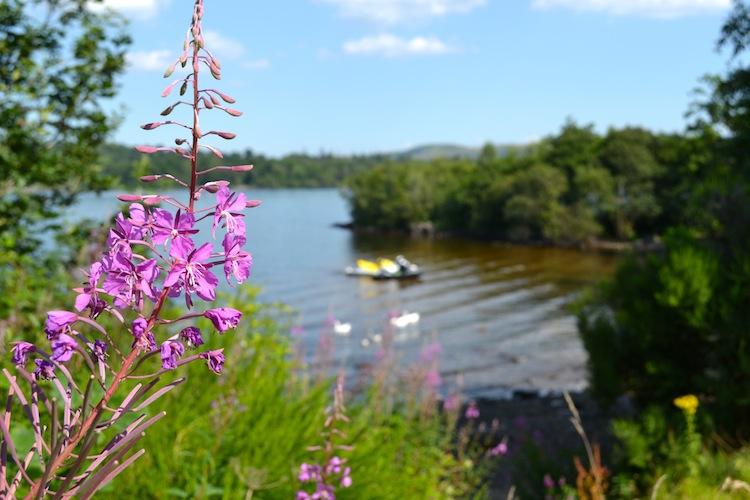 Loch Lomond wild flowers