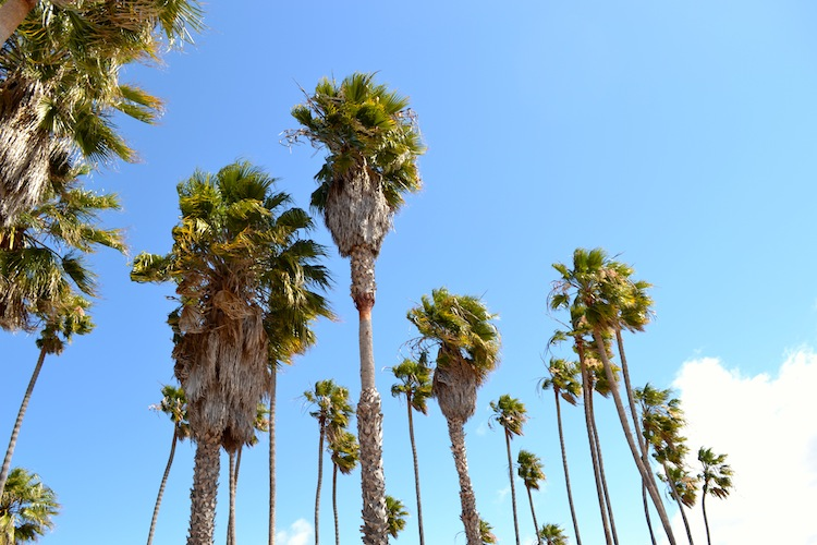 Palm trees in Santa Barbara