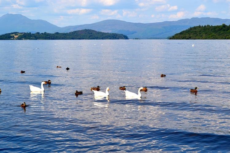 Swans at Loch Lomond in Scotland
