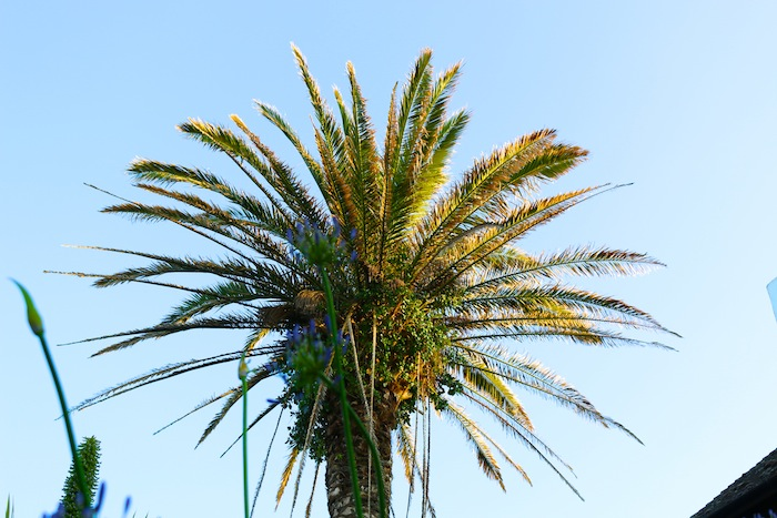 Palm tree on Isles of Scilly