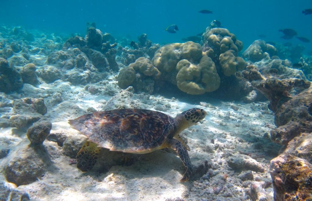 Hawksbill sea turtle HK2235 (1)