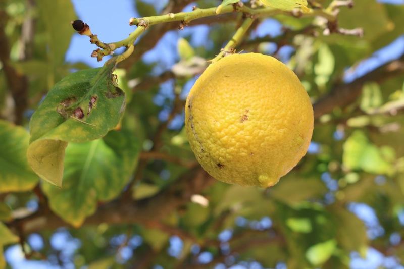 Lemon tree ingarden
