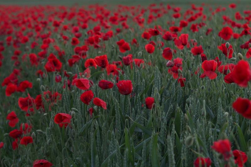 Poppies, CRT Picardie