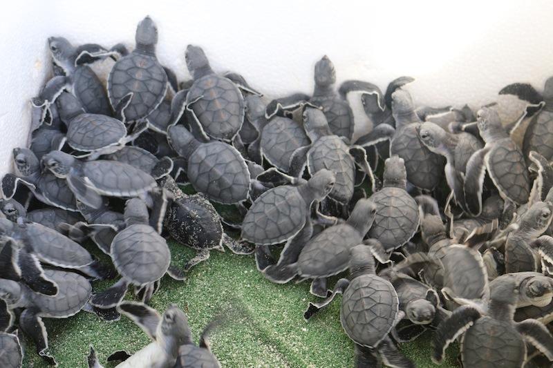 Tiny baby turtles