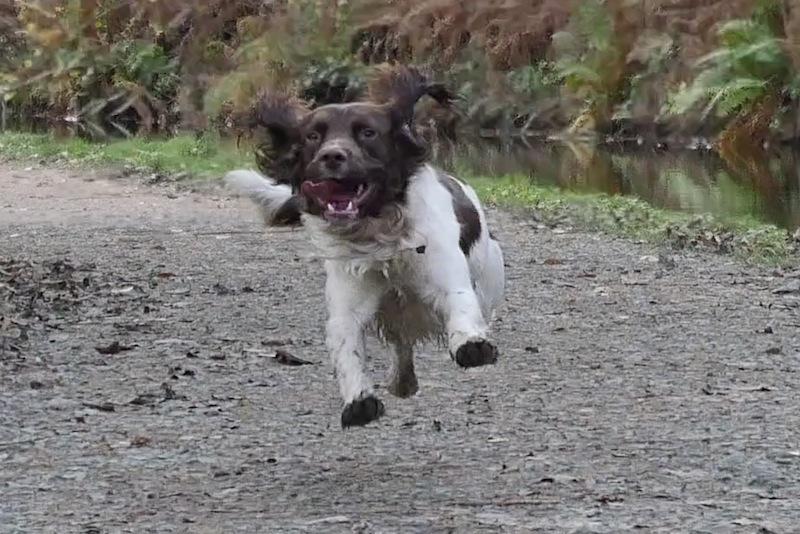 Springer Spaniel running | #4kphoto