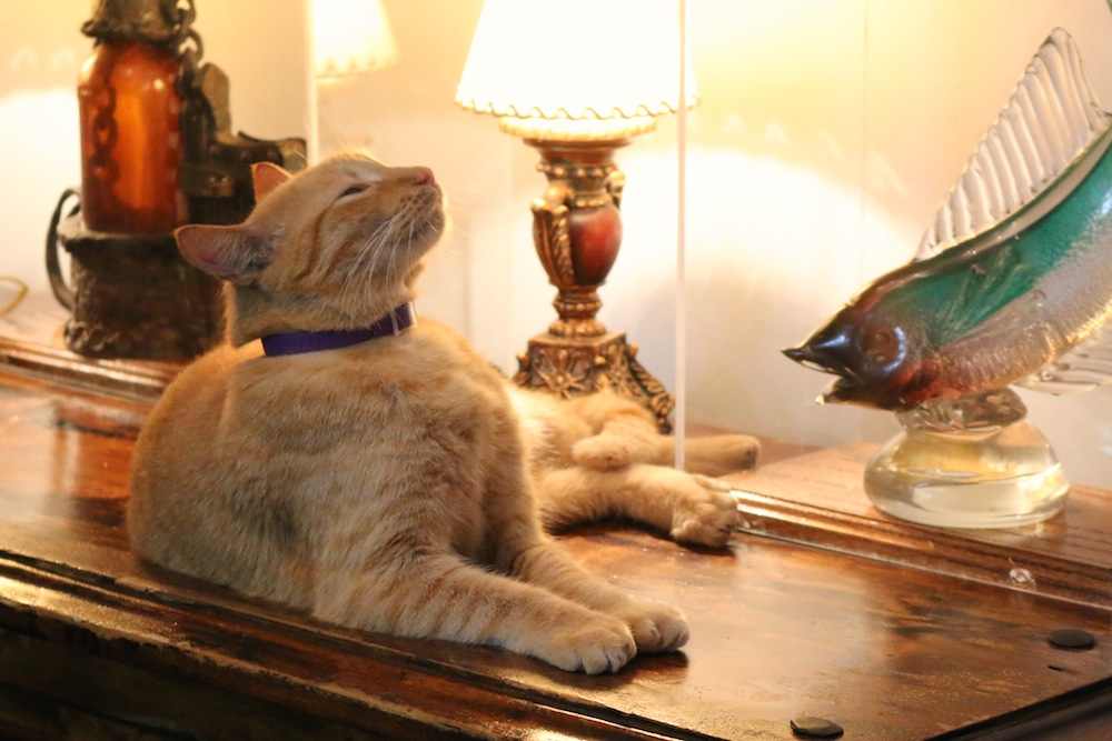 Cats with 6 toes at Ernest Hemingway House