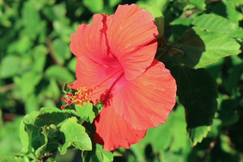 Hulhule Island Hotel flowers