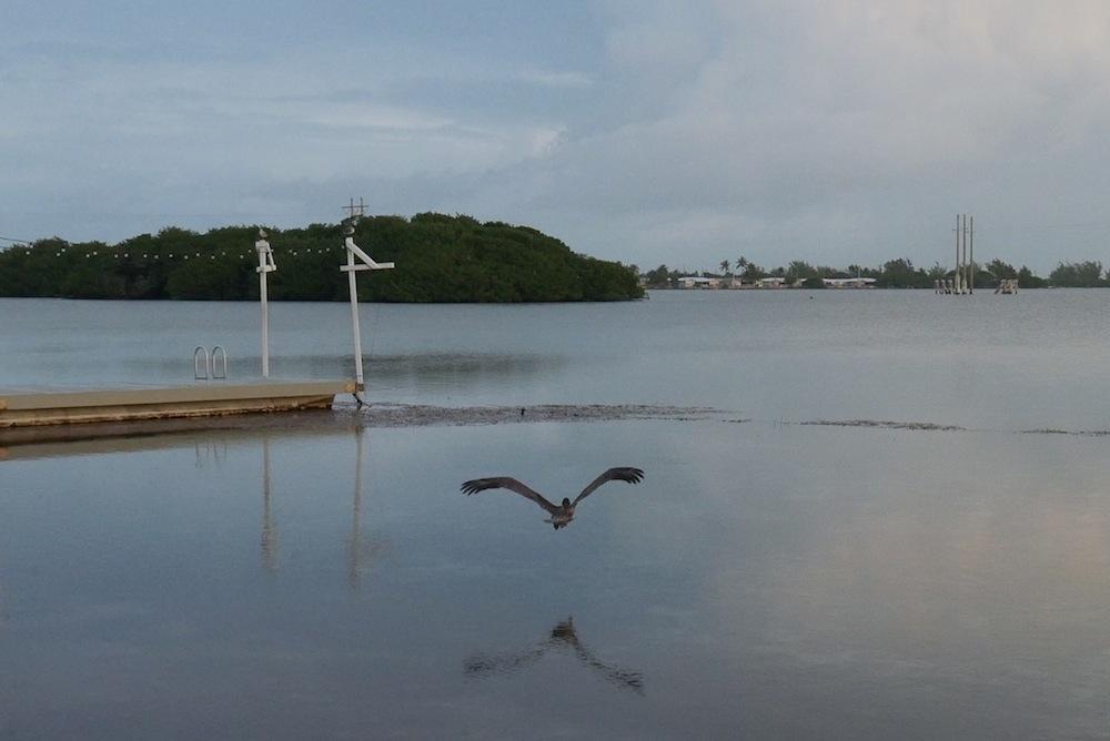 Pelican flying at Ibis Bay Resort