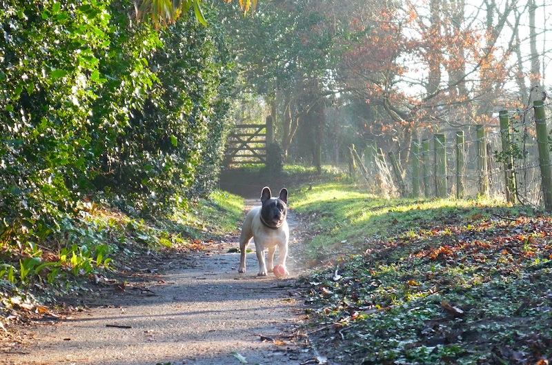 French bulldog taken with #4kphoto