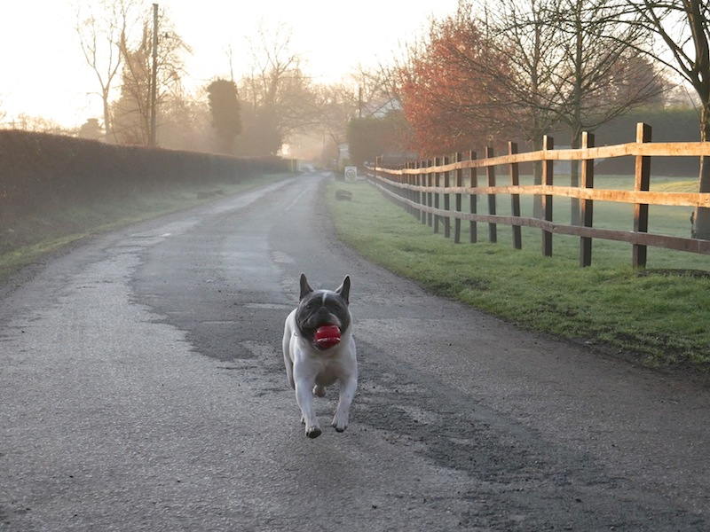Louie the frenchie on The Travel Hack