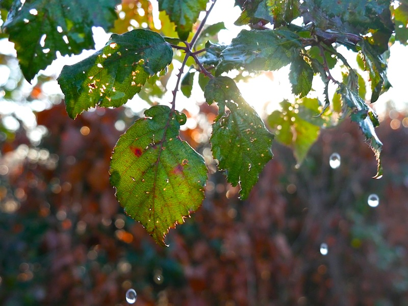 Water dripping from leaves taken with #4kphoto