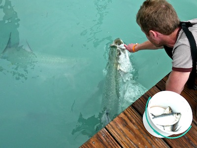 Feeding the tarpons at Robbie's Marina