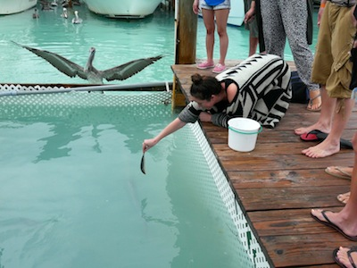 Feeding the tarpons