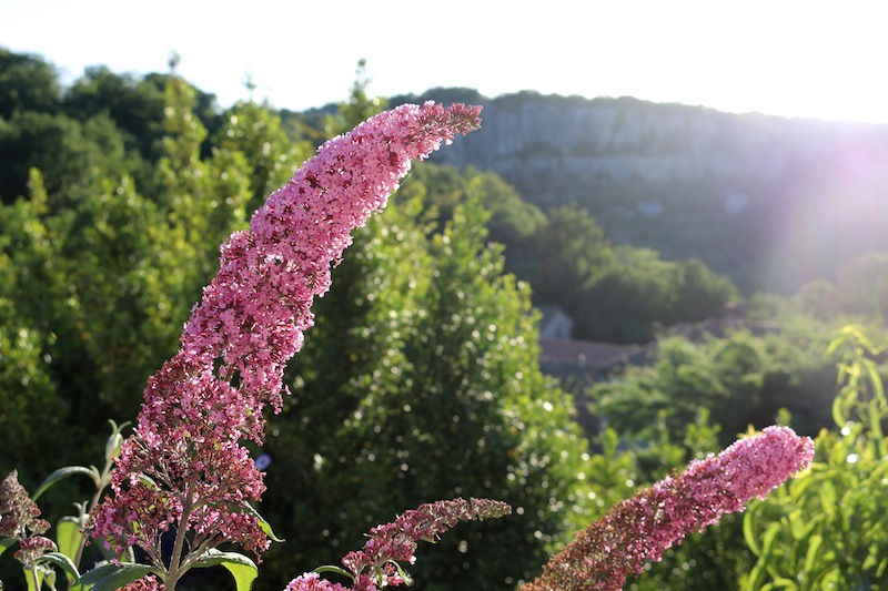 Pink flowers in Balazuc
