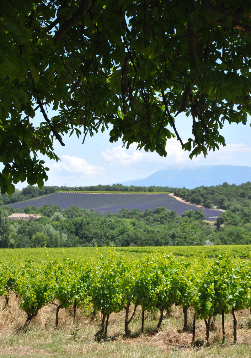 Food and Drink Southern France - Vineyard