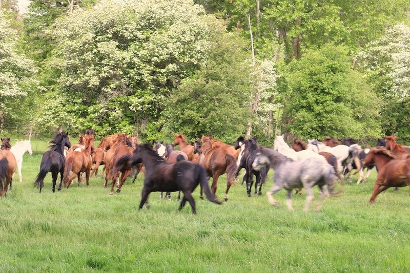 horses-running-at-flathead-lake-lodge