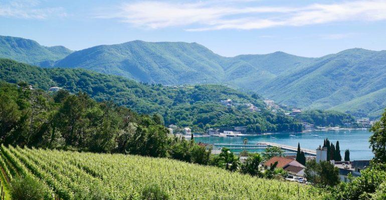 Vine yard in Herceg Novi